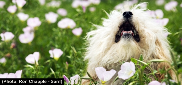 fluffy-small-dog-in-flower-field