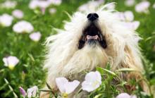 fluffy-small-dog-in-flower-field